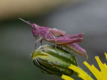 Purple form of Field Grasshopper