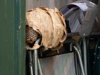 Hornets nest in container after door was finally opened