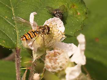 Insect on bramble flower