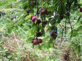 Plums on tree